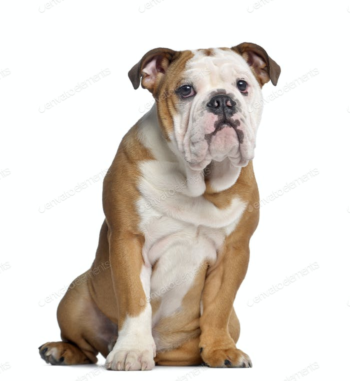 English Bulldog, 5 months old, sitting, isolated on white