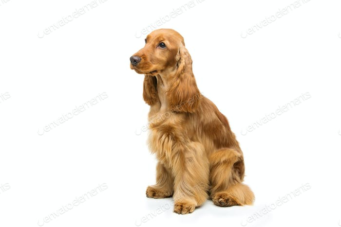 French Cocker Spaniel