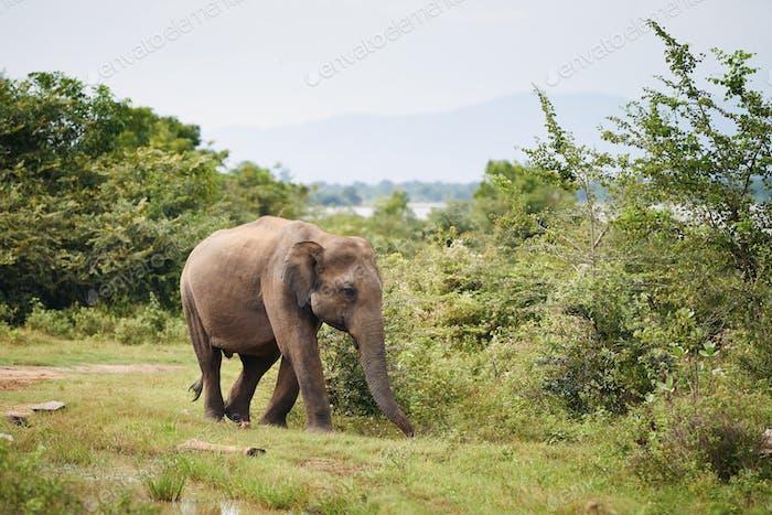 Elephant in the wild in Sri Lanka