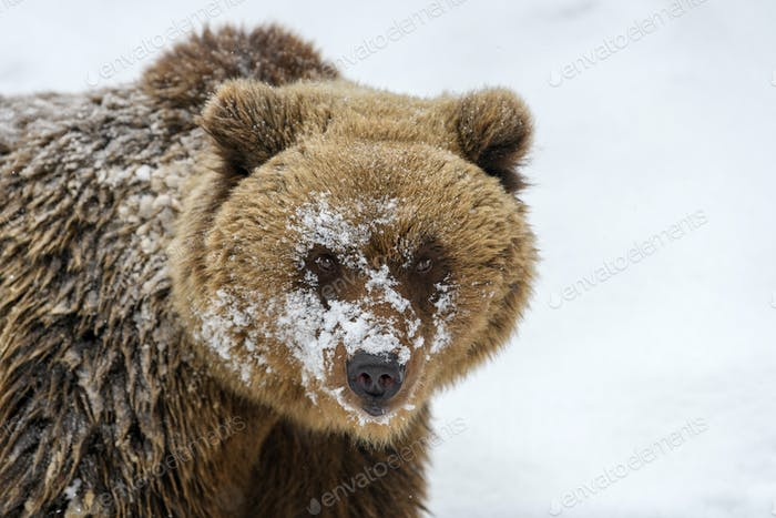 Close wild big brown bear portrait in winter forest