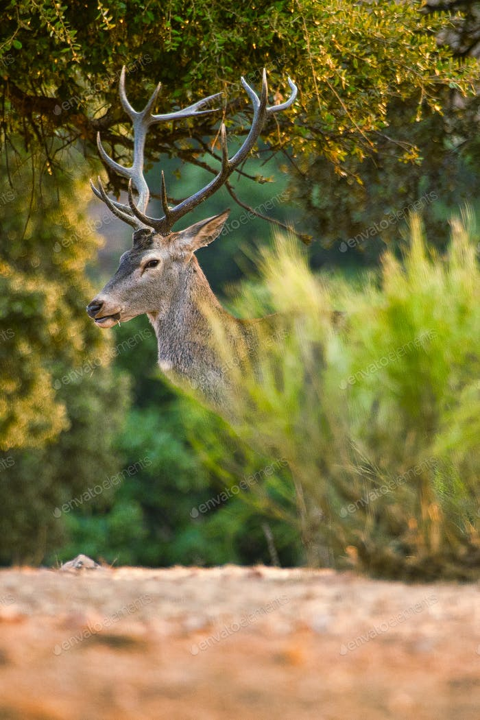 Red Deer, Rutting Season, Monfragüe National Park, Spain