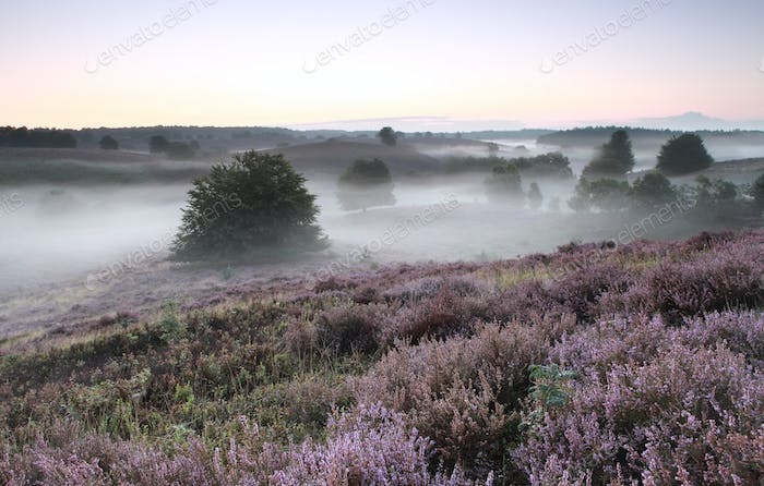 foggy morning in hills with flowering heather