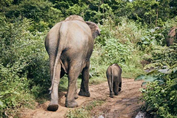 Wildlife elephants in Sri Lanka