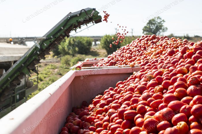 Harvester collects tomatoes in trailer