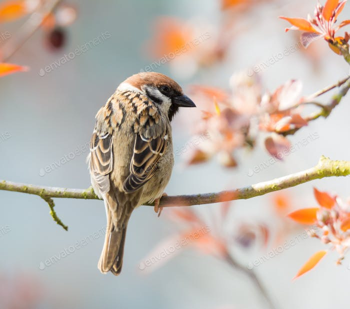 Eurasian Tree Sparrow sitting on a twig