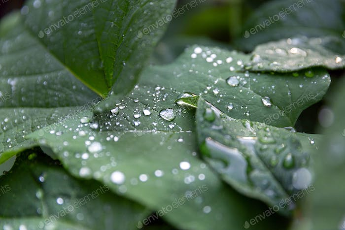 Droplets of rain on green leaves