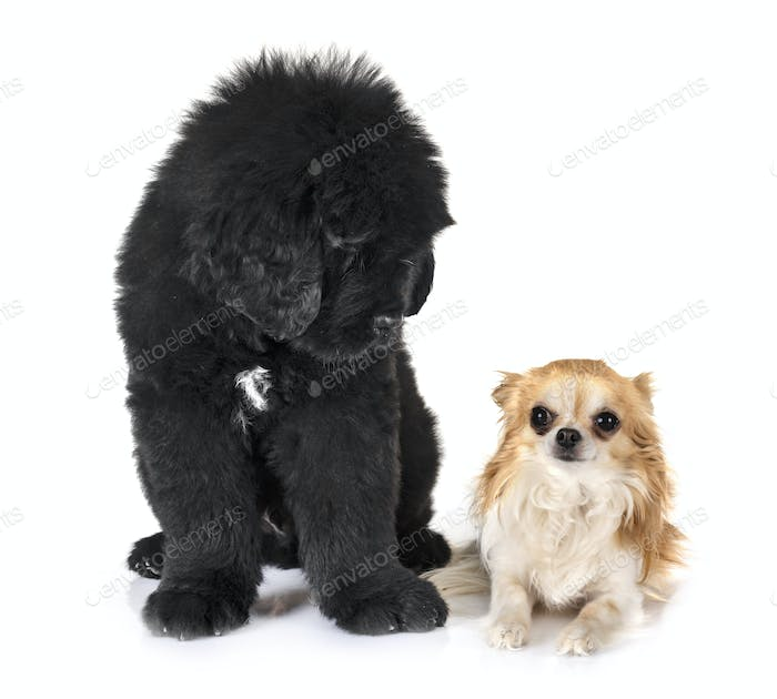 puppy newfoundland dog and chihuahua