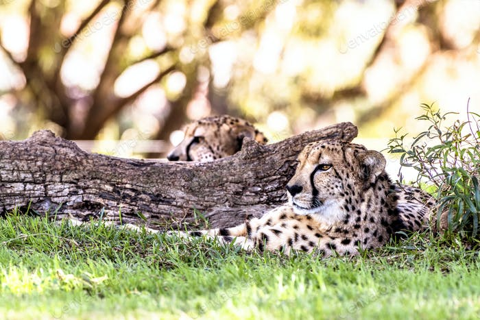 Cheetah resting in grass