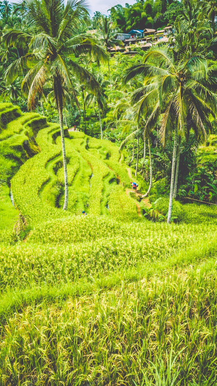 Amazing tegalalang Rice Terrace field with beautiful palm trees growing in cascade, Ubud, Bali