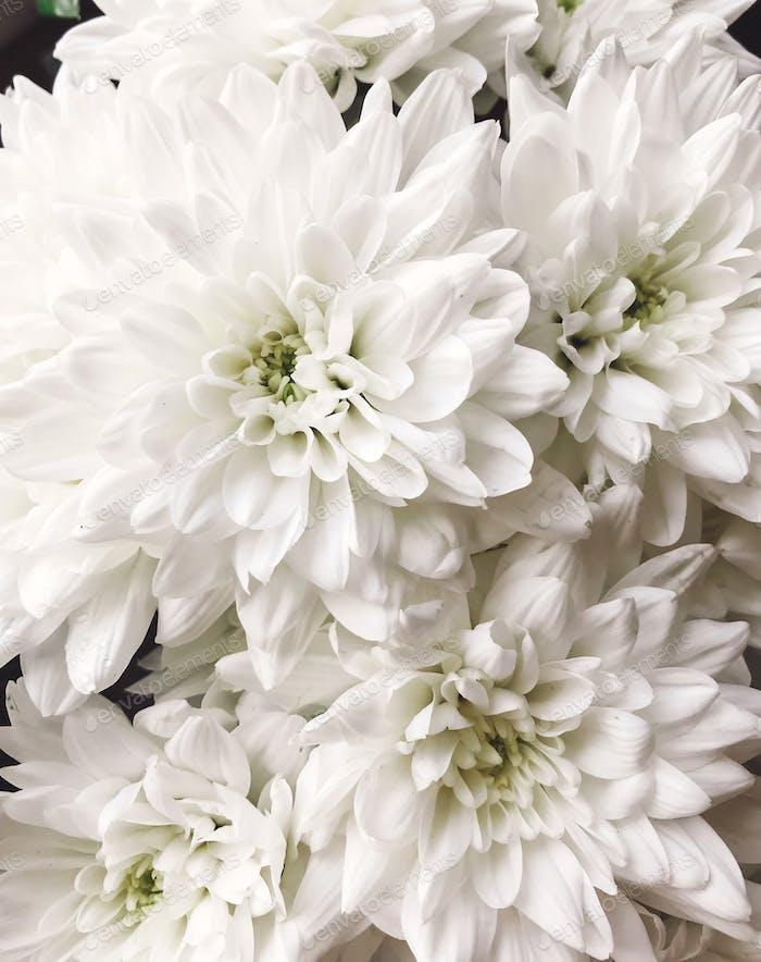 Schöne weiße Chrysanthemen Blumen Nahaufnahme
