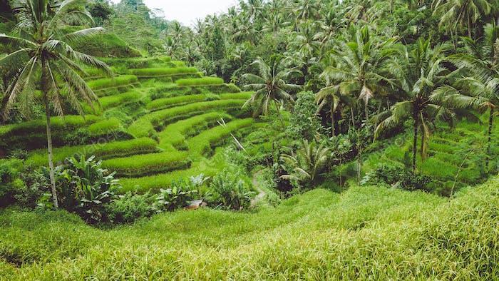 Tegalalang Rice Terrace, Ubud, Bali, Indonesien