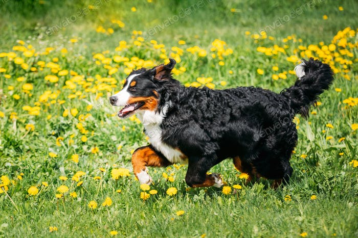 Bernese Mountain Dog Berner Sennenhund Playing Running Outdoor I