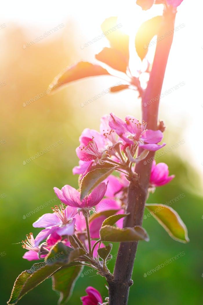 Spring flowering wild apples in the garden. Pollination of flowe