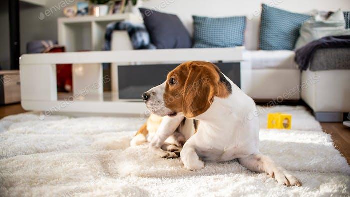 Purebred beagle dog lying on carpet in living room