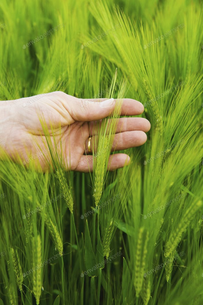 A farmer checking his crop, a hand inspecting the wheat ears.
