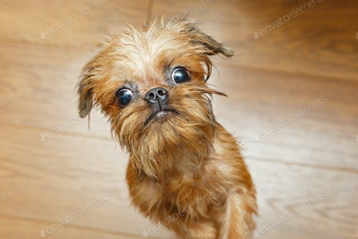 Brussels Griffon puppy with big eyes