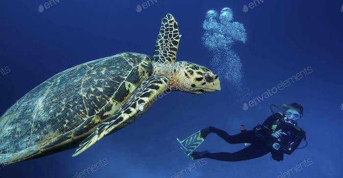 Scuba diver observing a Hawksbill turtle,Testudines Cheloniidae underwater.