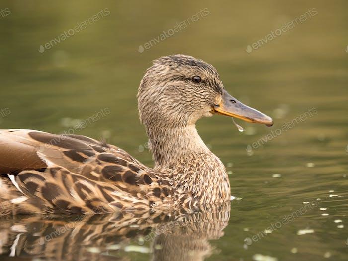 Wild duck at a pond