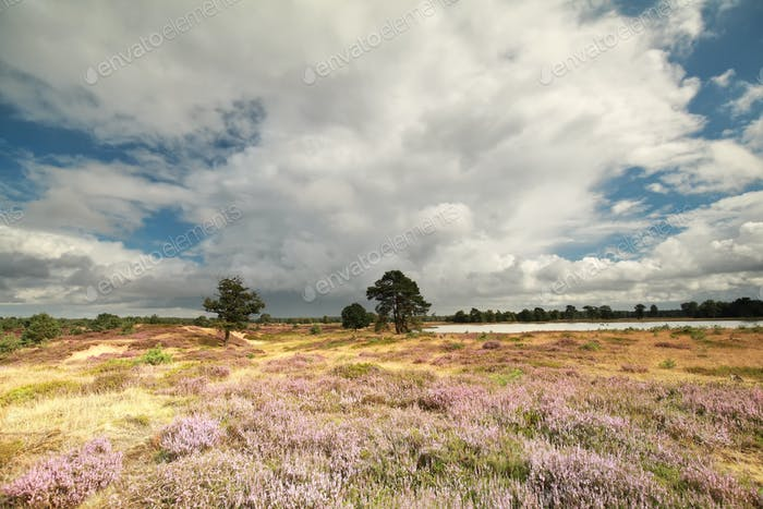 stormy sky over hills with flowering heather