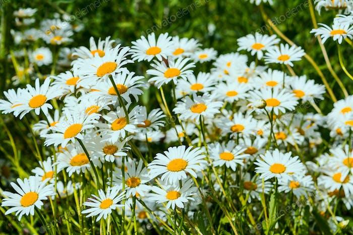 Summer day on daisy meadow
