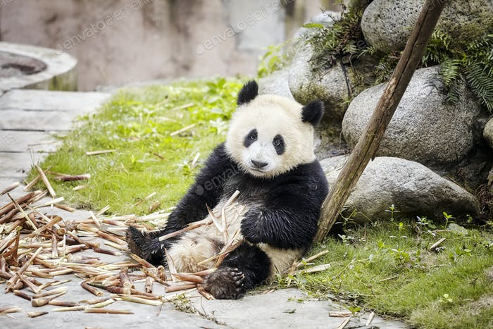 Giant panda rests after eating bamboo, Chengdu, China