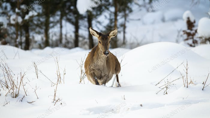 Red deer hind making a step in deep snow in winter