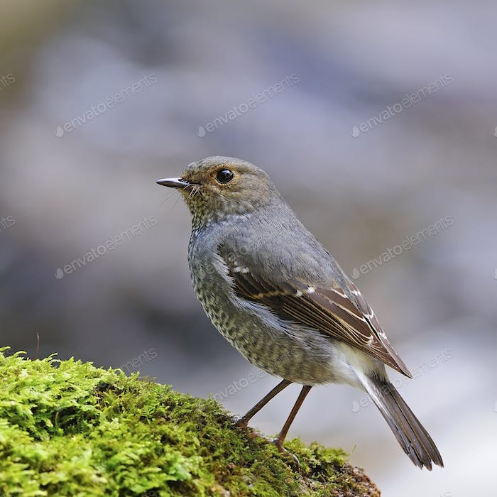 female Plumbeous Redstart