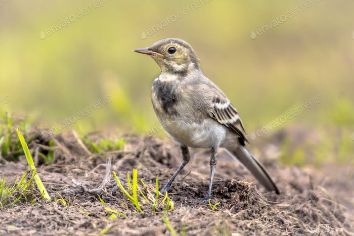 Juvenile White wagtail in field
