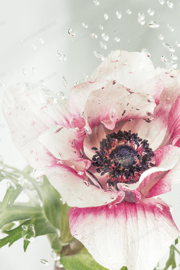 Droplets on an anemone flower