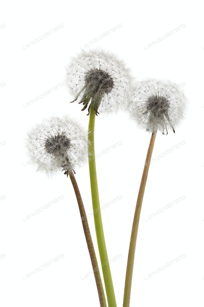 Dandelions seedheads