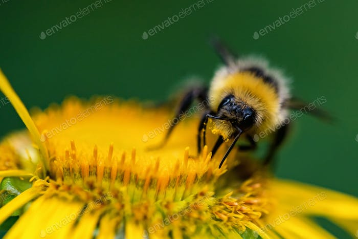 Close up bumblebee sits on yellow flower with green blurred background