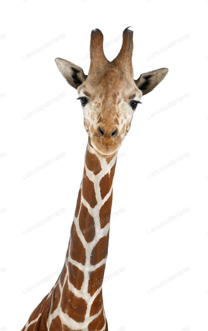 Somali Giraffe, commonly known as Reticulated Giraffe, Giraffa, 2 and a half years old