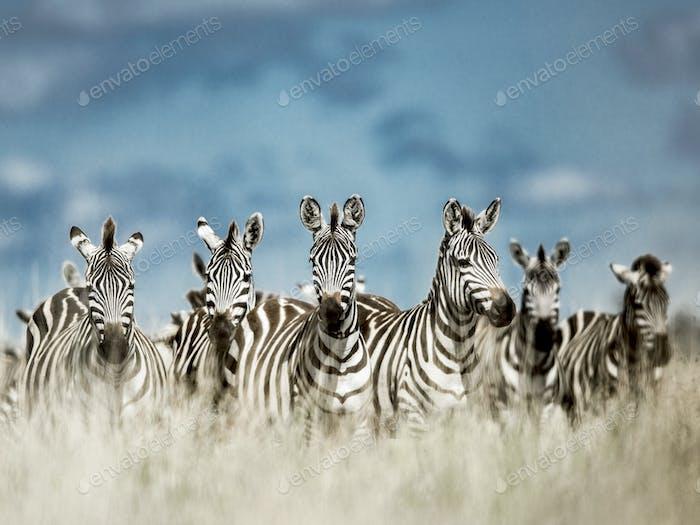 Herd of zebra in the wild savannah, Serengeti, Africa