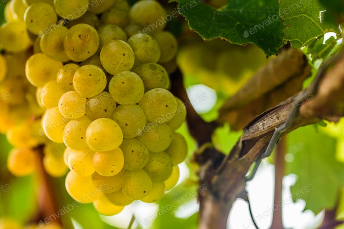 White grape in a vineyard during autumn