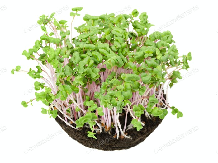 China Rose radish seedlings from above