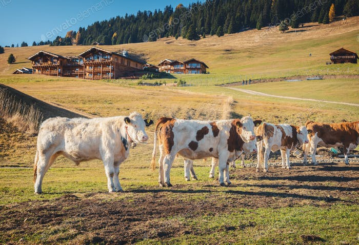 Schöne Kühe und Kälber auf der Wiese mit grünem Gras