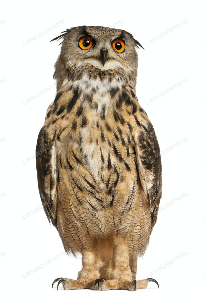 Portrait of Eurasian Eagle-Owl, Bubo bubo, a species of eagle owl