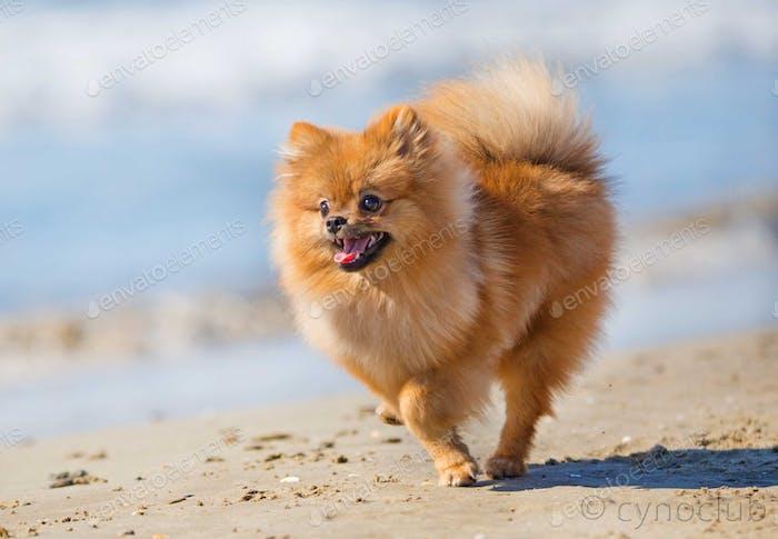 spitz on the beach