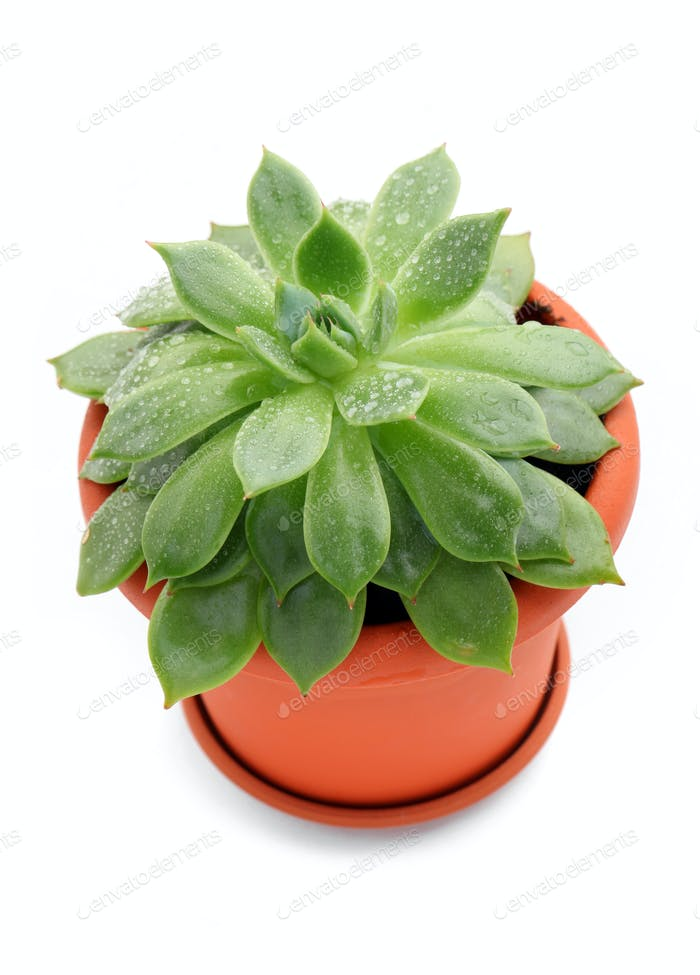 Sempervivum plant in a pot over white background