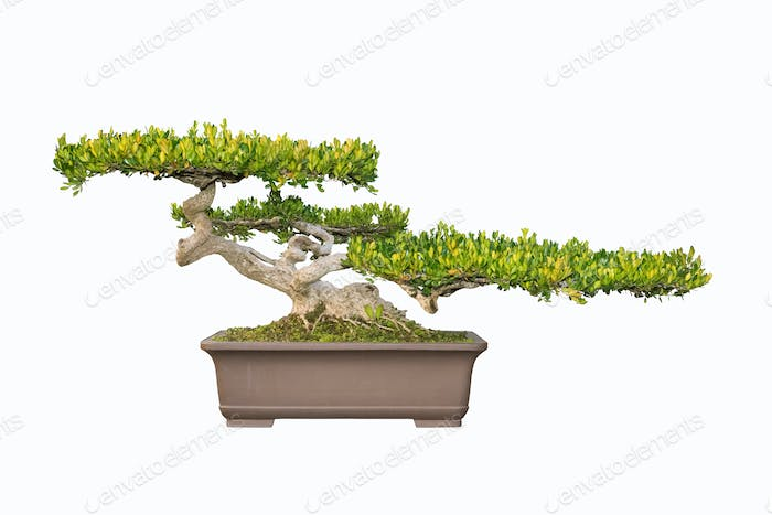 bonsai tree of chinese littelleaf box