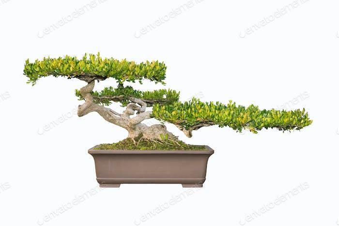 Bonsai Baum der chinesischen Littelleaf Box