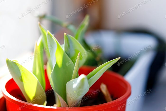 Pot with bulbous sprouts forced on the windowsill