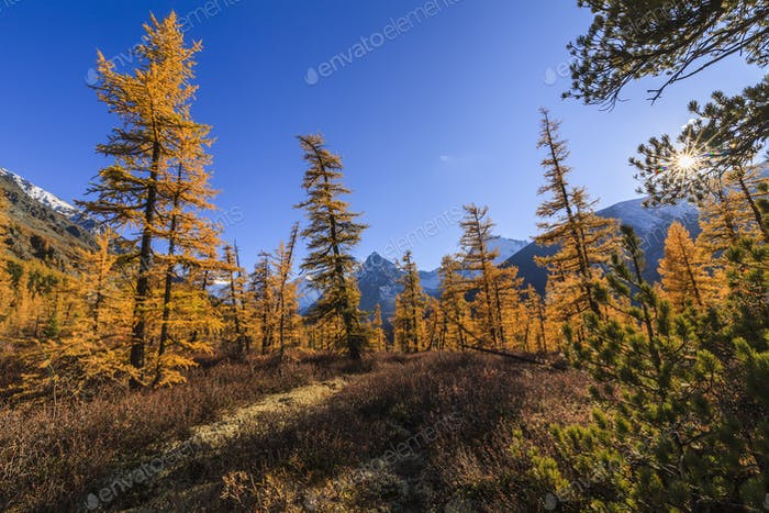 Amazing view of the Altai mountains and yellow forest. Russia.