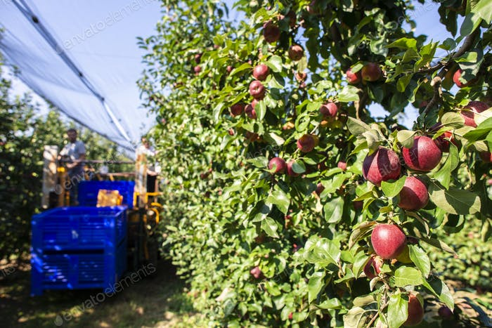 Harvest apples in big industrial apple orchard. Machine for pick