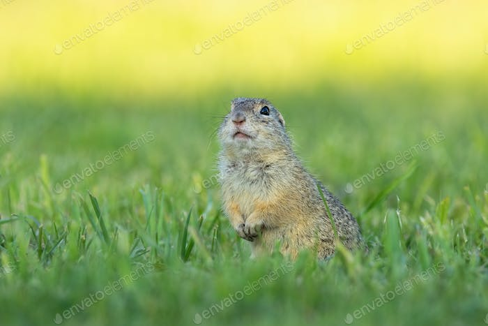European ground squirrel standing upright and watching around in the morning