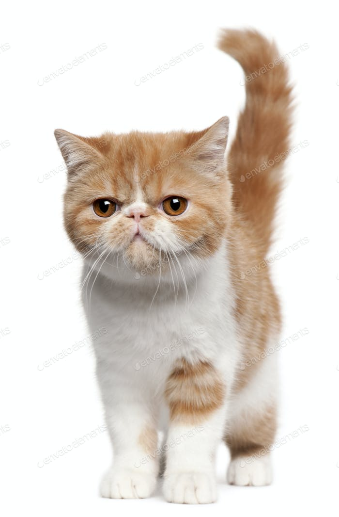 Exotic Shorthair kitten (4 months old)