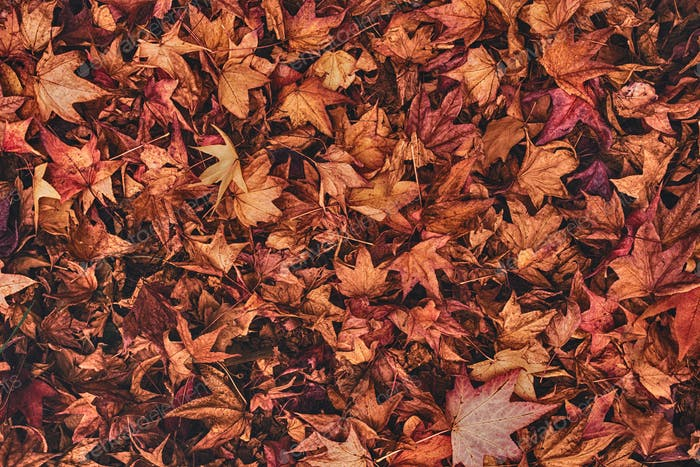 Multicolored japanese maple autumnal dry leaves on the ground