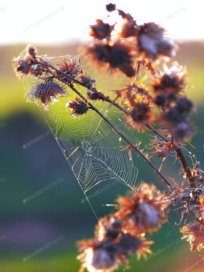Web of a spider against sunrise