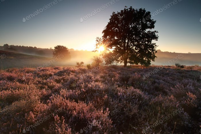beautiful sunrise behind oak tree over heath