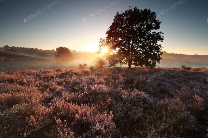 beautiful sunrise behind oak tree over heath